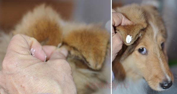 Инструкция как клеить уши собаке