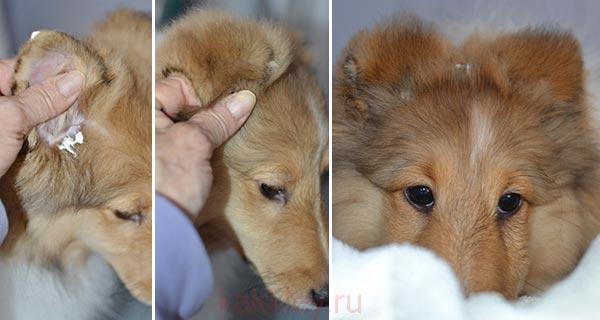 Правила приклейки собачьих ушей