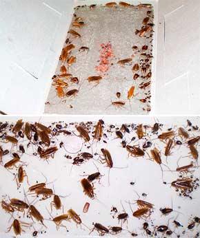 Клей от насекомых отзывы