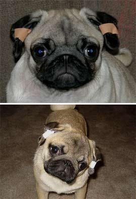 Как клеить уши мопсу