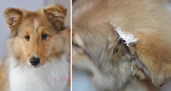 Принцип нанесения клея для приклеивания ушей собак